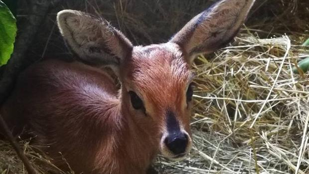 The Steenbok that was found on the side of the road in Vryheid in KwaZulu Natal