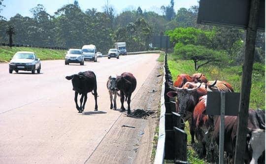 Cows a problem on N3 between Pinetown and Pietermaritzburg