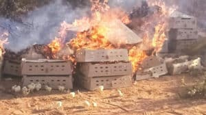 Zim destroys 19 600 day old chicks smuggled into the country by burning them alive